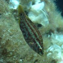 Vijfvlek-lipvis