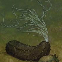 Zwarte_zeekomkommer